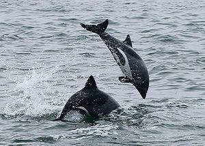 {{de|1=Heaviside-Delfine vor der Küste von Wal...
