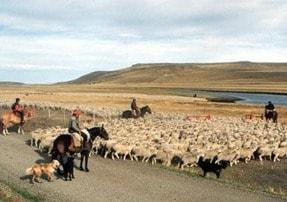 Schafszucht