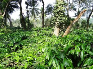 Kaffeeplantagen in Honduras, Peru, Mexiko und Tansania gelten als wichtigste Anlaufstellen für Fairen Kaffeehandel weltweit. pixabay©sarangib (CCO 1.0)