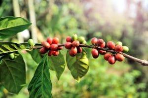Noch in den Ernteländern werden die Kaffeekirschen entkernt, gewaschen und getrocknet. pixabay©tristantan (CCO 1.0)